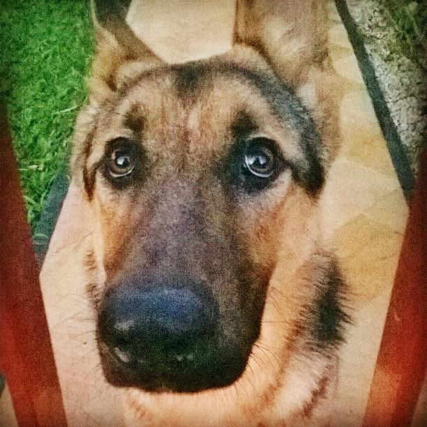 amizade canina pérsio dog cachorro pastor alemão criciúma ale koga